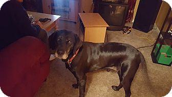 Labrador Retriever Mix Dog for adoption in Lima, Pennsylvania - Storm