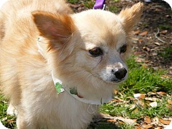 Pomeranian/Chihuahua Mix Dog for adoption in Melrose, Florida - Bellamy