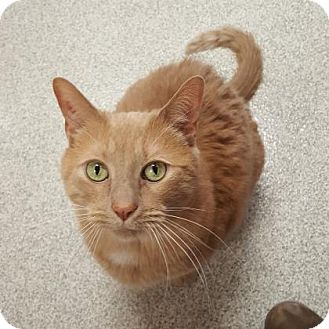 Domestic Shorthair Cat for adoption in Pequot Lakes, Minnesota - Tinker
