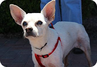 Chihuahua/Terrier (Unknown Type, Small) Mix Dog for adoption in Las Vegas, Nevada - SALVADOR