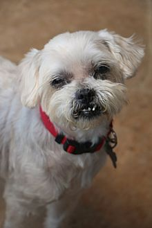 Shih Tzu/Maltese Mix Dog for adoption in Norwalk, Connecticut - Sushi