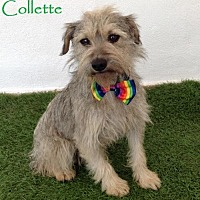 Adopt A Pet :: Collette - San Diego, CA