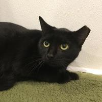 Domestic Shorthair/Domestic Shorthair Mix Cat for adoption in Randleman, North Carolina - Camilla