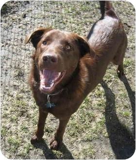 Labrador Retriever/Chesapeake Bay Retriever Mix Dog for adoption in Portsmouth, Rhode Island - Freddie