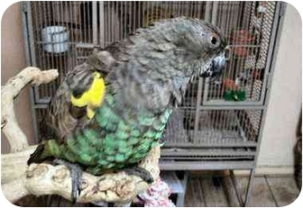 Poicephalus (including Senegal and Meyer's) for adoption in Fountain Valley, California - Milo