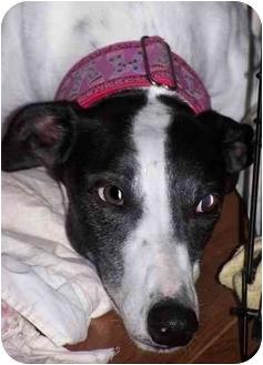 Greyhound Dog for adoption in Hobart, Indiana - Emma