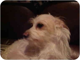 Maltese/Terrier (Unknown Type, Small) Mix Dog for adoption in San Diego, California - Stanley