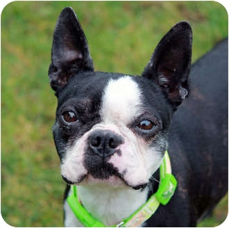 Boston Terrier Dog for adoption in Lynnwood, Washington - Kendall