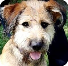 Wheaten Terrier Mix Dog for adoption in Wakefield, Rhode Island - JAGGER(SCRUFFY LITTLE PUP!!)