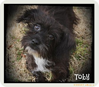 Silky Terrier/Schnauzer (Miniature) Mix Dog for adoption in Glastonbury, Connecticut - Toby