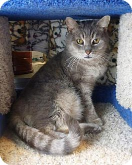 Domestic Mediumhair Cat for adoption in Neenah, Wisconsin - Karl FIV+ - ADOPTED!