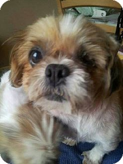 Shih Tzu/Lhasa Apso Mix Dog for adoption in North Olmsted, Ohio - Skittles