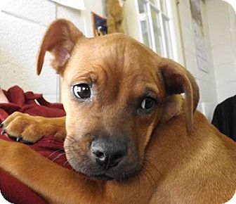 Labrador Retriever Mix Puppy for adoption in Henderson, North Carolina - Abigale