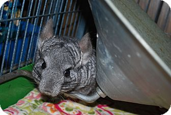 Chinchilla for adoption in Hammond, Indiana - Juju
