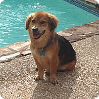 Adopt A Pet :: Bear - San Antonio, TX