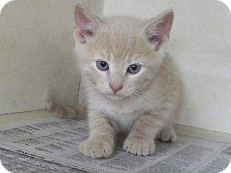 Domestic Mediumhair Kitten for adoption in Tyner, North Carolina - Thomasina