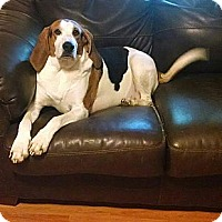 Adopt A Pet :: Banjo-The Smiling Hound - Westport, CT