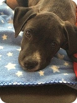 Pit Bull Terrier Mix Puppy for adoption in Mesa, Arizona - DUKE 3 MO PIT BULL MIX@PETCO