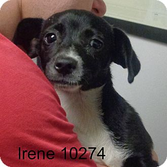 Beagle/Dachshund Mix Puppy for adoption in Greencastle, North Carolina - Irene