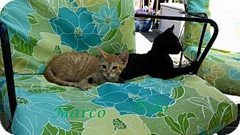 Domestic Shorthair Kitten for adoption in Middletown, Ohio - Marco and Polo