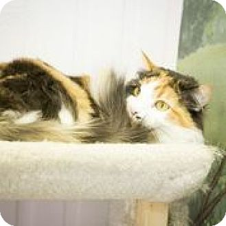 Domestic Mediumhair Cat for adoption in Truckee, California - Maggie