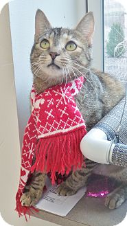 Domestic Shorthair Cat for adoption in Chambersburg, Pennsylvania - Precious