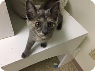 Domestic Shorthair Kitten for adoption in Medina, Ohio - Bella