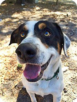 Hound (Unknown Type)/Greater Swiss Mountain Dog Mix Dog for adoption in Umatilla, Florida - Bert