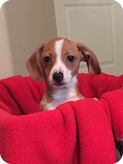 Beagle Mix Puppy for adoption in Mesa, Arizona - SCOOTER - 9 WEEK BEAGLE MIX