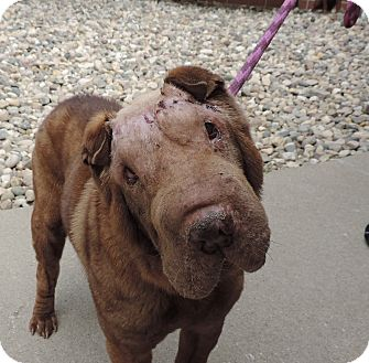 Shar Pei Mix Dog for adoption in Sioux City, Iowa - BABY