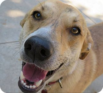 Whippet/Terrier (Unknown Type, Medium) Mix Dog for adoption in WADSWORTH, Illinois - SNICKERS