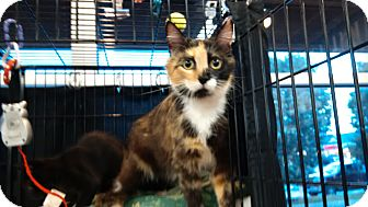 Domestic Shorthair Cat for adoption in Exton, Pennsylvania - Clara (TD)