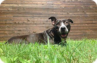 Boxer/Labrador Retriever Mix Dog for adoption in Vancouver, British Columbia - Freda
