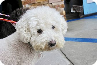 Labradoodle/Poodle (Miniature) Mix Dog for adoption in Los Angeles, California - BooBoo