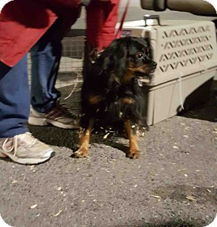 Cavalier King Charles Spaniel Mix Dog for adoption in Loudonville, New York - Gretchen