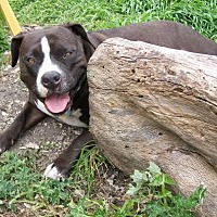 American Pit Bull Terrier Dog for adoption in Lompoc, California - Shadow