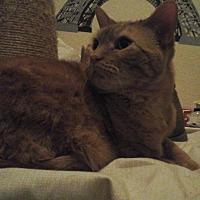 Domestic Shorthair Cat for adoption in Torrance, California - Taz