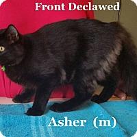 Adopt A Pet :: Asher - Bentonville, AR