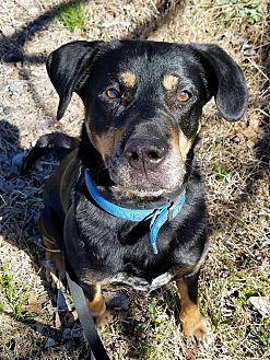 Rottweiler Mix Dog for adoption in Essington, Pennsylvania - Duke