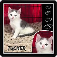 Adopt A Pet :: Tucker - Jeffersonville, IN