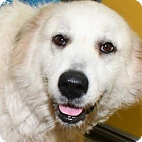 Great Pyrenees Mix Dog for adoption in Fernandina Beach, Florida - SNOWBALL