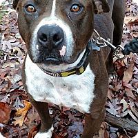 Adopt A Pet :: Remington - Windham, NH