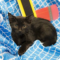 Adopt A Pet :: Cookie Monster - Addison, IL
