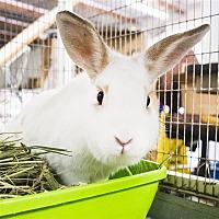 Adopt A Pet :: Nibbles - Oceanside, CA
