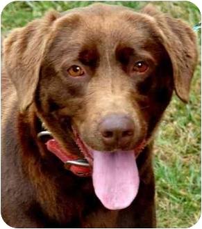 Labrador Retriever Dog for adoption in Pawling, New York - HERSHEY
