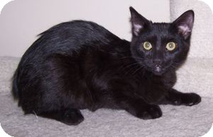 Domestic Shorthair Kitten for adoption in Colorado Springs, Colorado - K-Tucker2-Eva