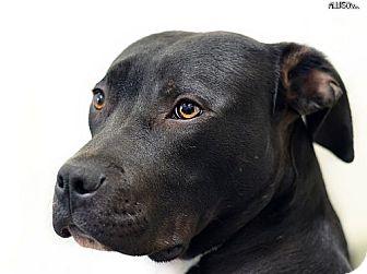 Labrador Retriever/American Pit Bull Terrier Mix Puppy for adoption in Berkeley, California - Donner **URGENT**