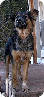 Shepherd (Unknown Type)/Australian Shepherd Mix Dog for adoption in Jemez Springs, New Mexico - Zoey
