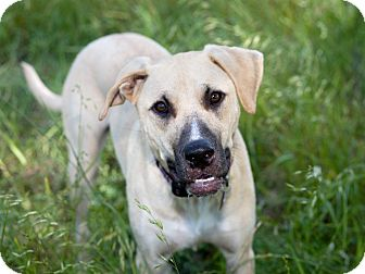 Black Mouth Cur/Shepherd (Unknown Type) Mix Puppy for adoption in Dallas, Texas - Julian