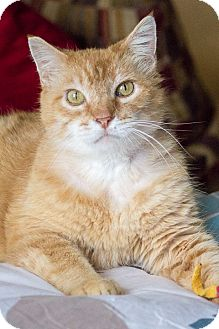 Domestic Shorthair Cat for adoption in Chicago, Illinois - Jackson